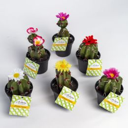 24 Bulk Potted Cactus W/flower 6asst 5-6inh Lawn And Garden ht